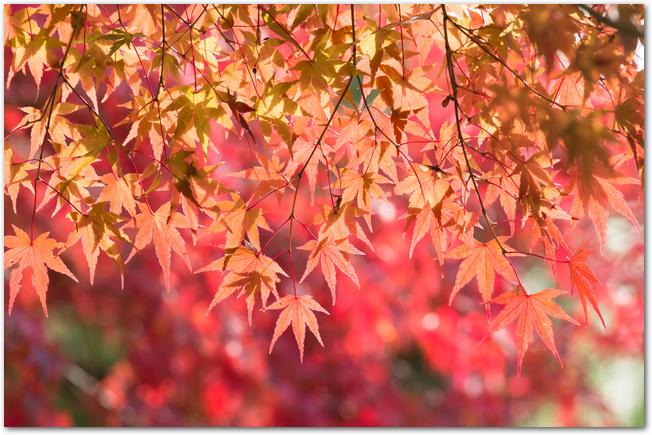 赤く色づいた綺麗な紅葉の様子