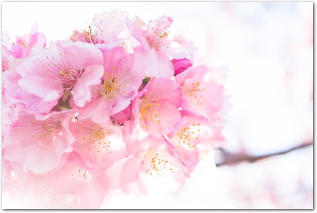 満開の河津桜の花
