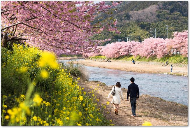 河津桜が満開の川沿いの遊歩道を歩くカップルの様子