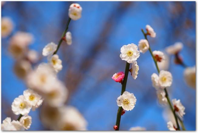 偕楽園に咲くピンクと白の梅の花