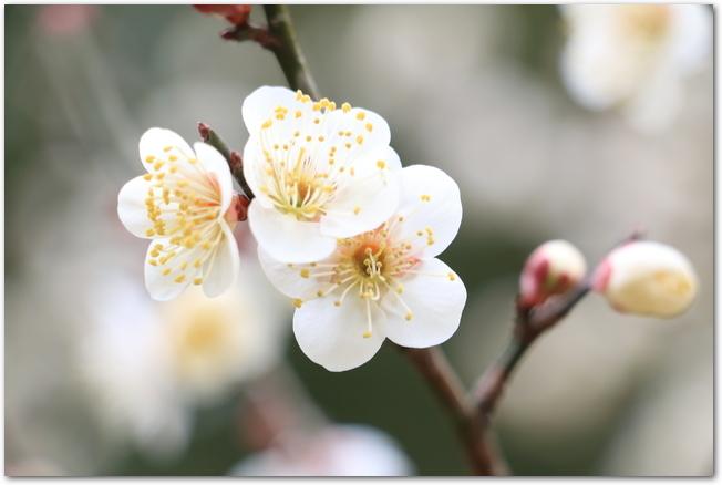 白梅の花のアップ