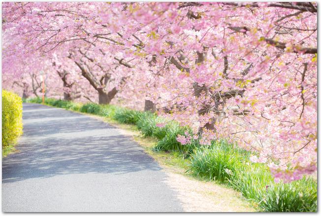 満開の河津桜の桜並木