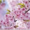 河津桜 伊豆で早桜を楽しむ?宿のおすすめは?電車で行くには?