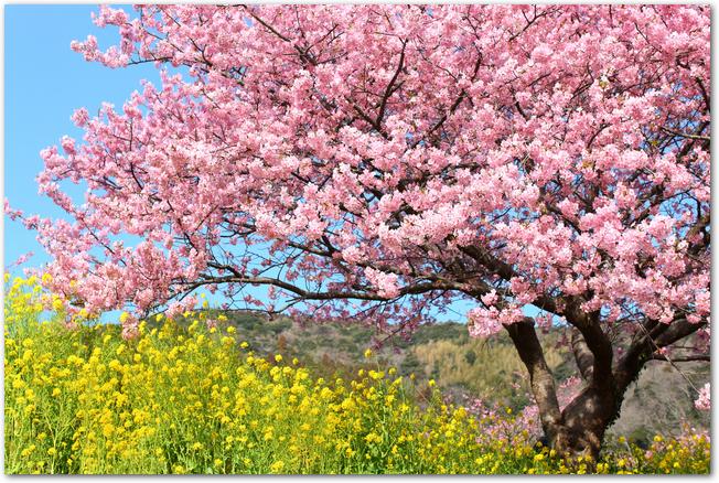 満開の菜の花と河津桜の花の様子