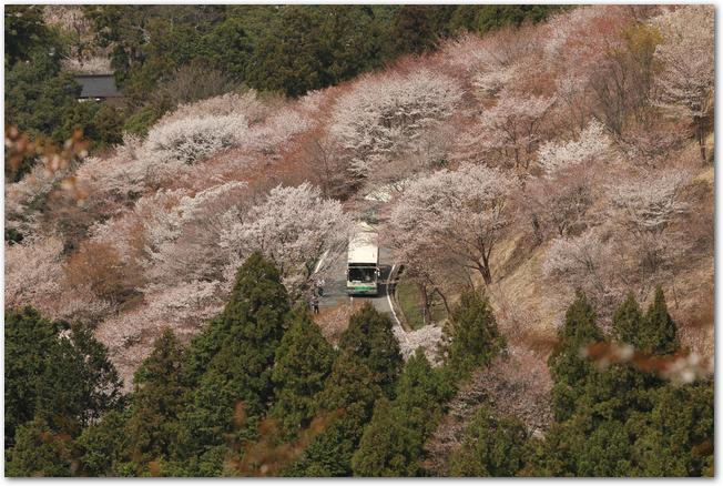 桜が満開の吉野山の道路を走るバス