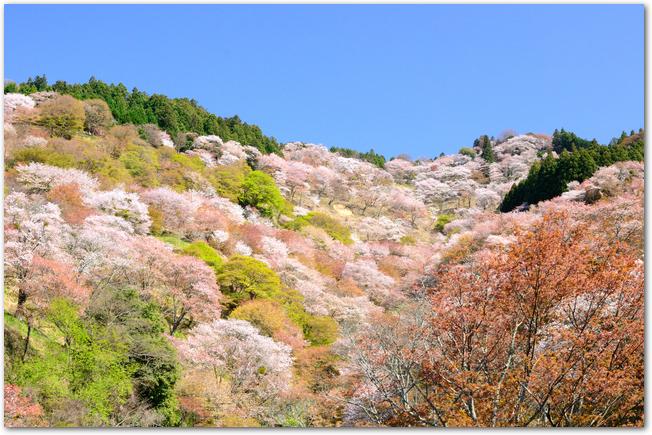 吉野山の満開の山桜の様子