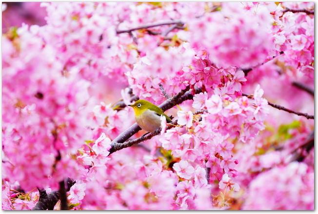 満開の河津桜の枝にメジロがとまっている様子