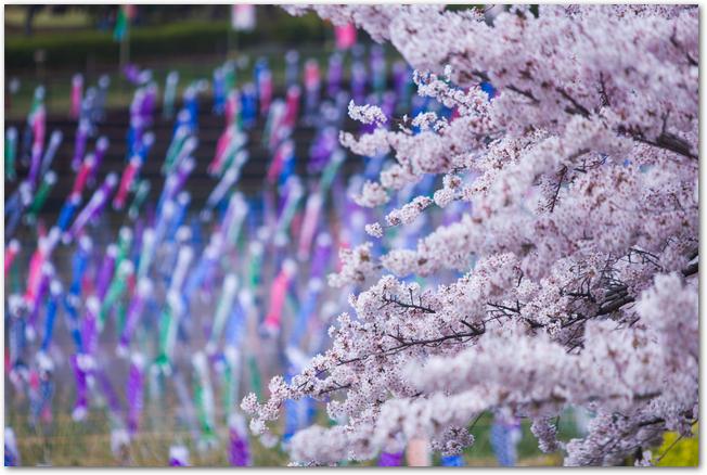 満開の桜の後ろで風になびくこいのぼりの様子