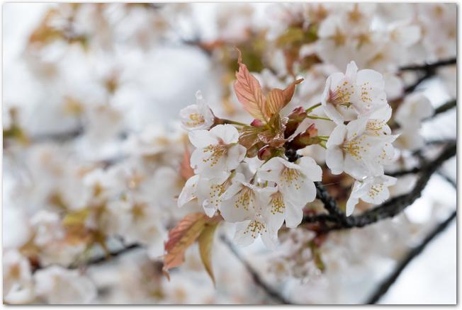 満開のシロヤマザクラの花のアップ