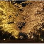 万博公園の桜ライトアップ情報!見ごろはいつ?混雑状況は?