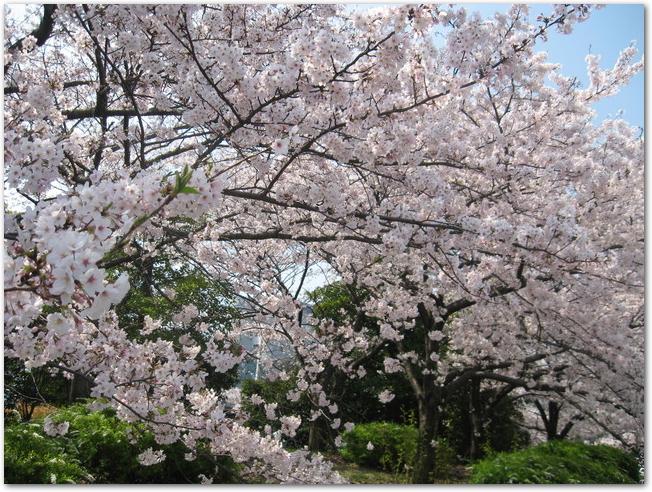 万博公園の満開の桜の木の様子