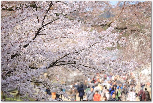 醍醐寺の桜と花見客が歩いている様子