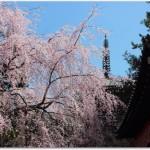 醍醐寺の花見の見頃は?混雑状況は?弁当を食べれるのは?