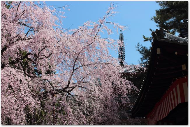 醍醐寺の塔と満開の桜の様子