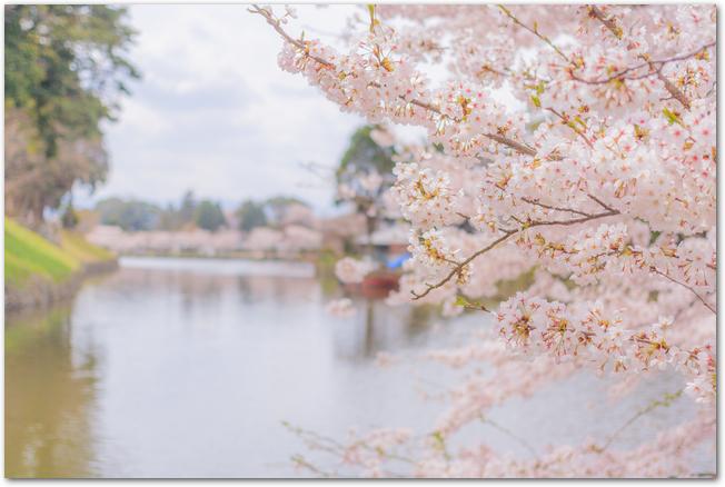 彦根城のお堀と桜