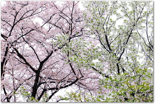 姫路城の薄紅色と白色の桜が満開になっている様子