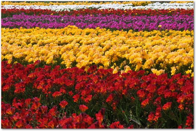 色とりどりのフリージアが咲く花畑の光景