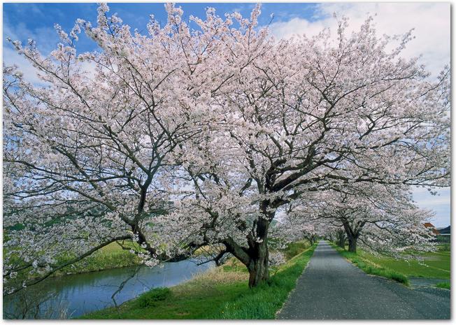 法勝寺土手の桜並木が満開になっている光景