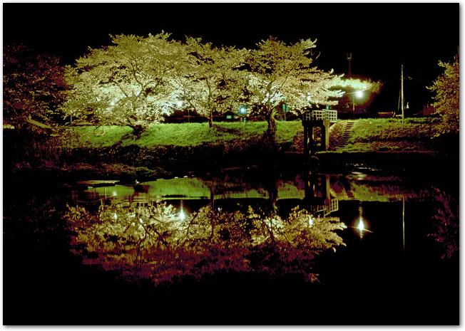 法勝寺土手の桜並木が夜桜ライトアップされている光景