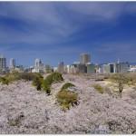 舞鶴公園桜の開花やライトアップ時期は?アクセス方法までご紹介!