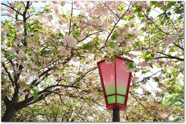 桜並木が満開になっている大阪造幣局の様子