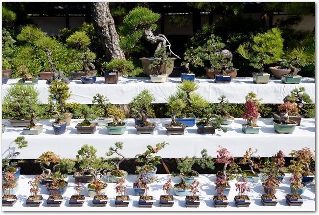 たくさんの松の盆栽が並べられている様子