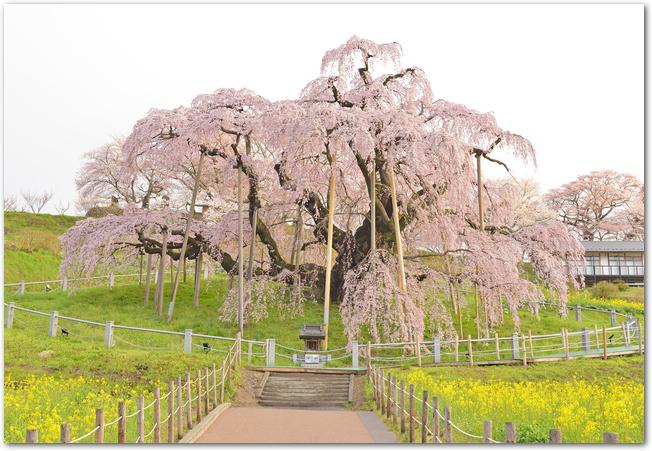 満開の三春滝桜を正面から見た様子