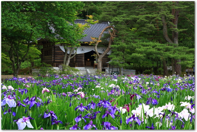 沢山のあやめが咲いている毛越寺の様子