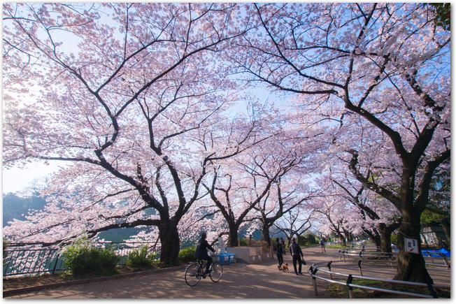 千鳥ヶ淵の公園で桜が満開になっている光景