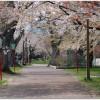 森町の桜祭りの見所は?青葉ヶ丘公園の桜は凄い?グルメのおすすめは?