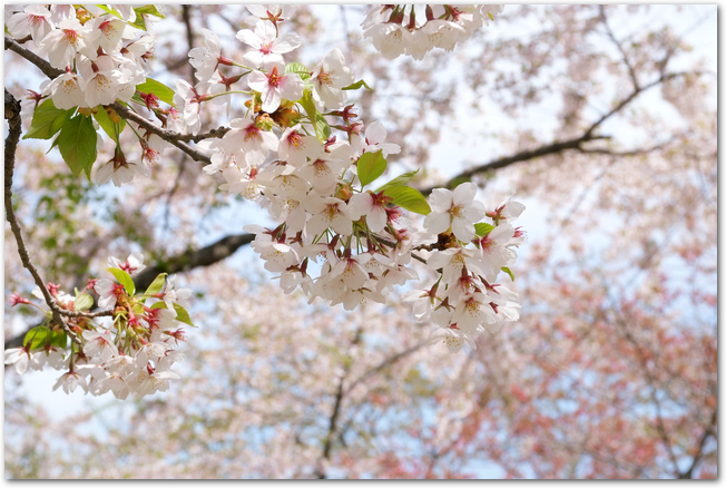 満開の青葉ヶ丘公園の桜の花のアップ
