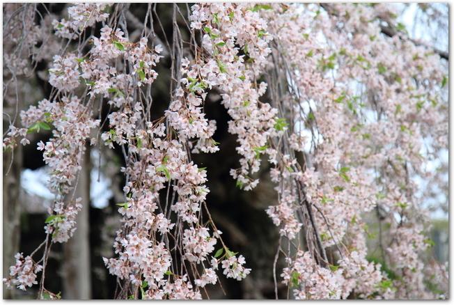 満開の枝垂れ桜の花