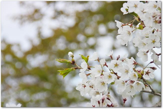 東明公園に咲いている桜の花のアップ