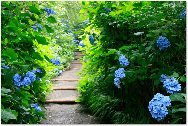 鎌倉の小道に咲く紫陽花の花
