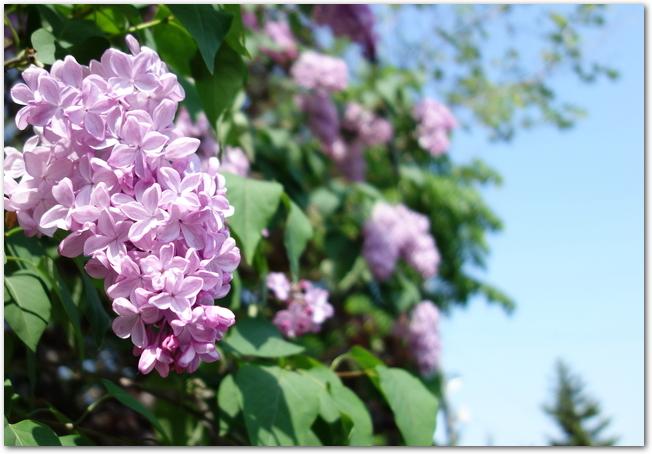 青空をバックに咲く紫色のライラックの花