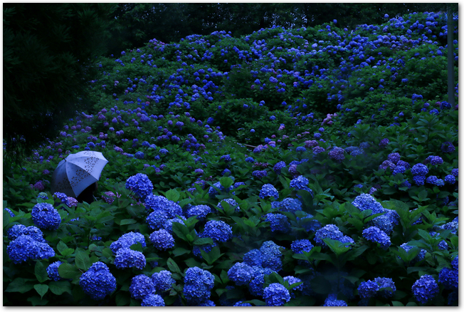 雨の中傘をさして紫陽花を見る人の様子