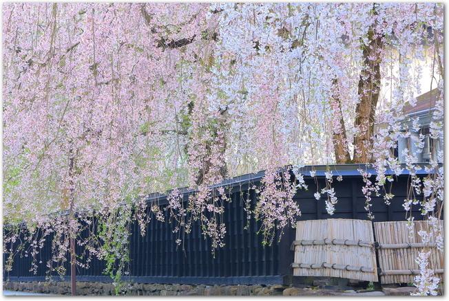 角館の武家屋敷に咲く枝垂桜の様子