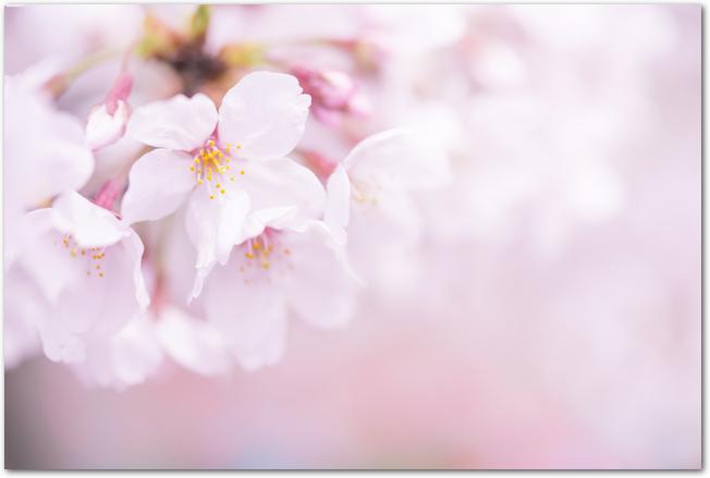 少しぼかしの入ったソメイヨシノの花のアップ