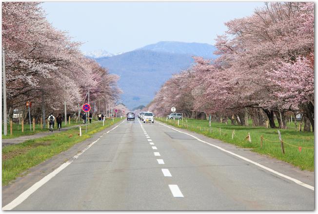 両側に満開の桜並木が続く二十間道路の様子