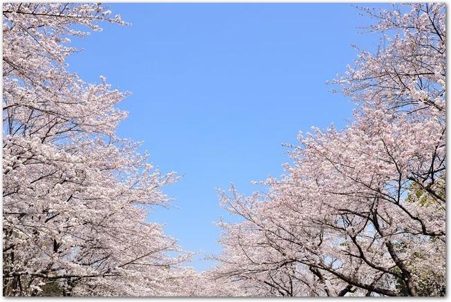 青空と満開の桜並木の様子