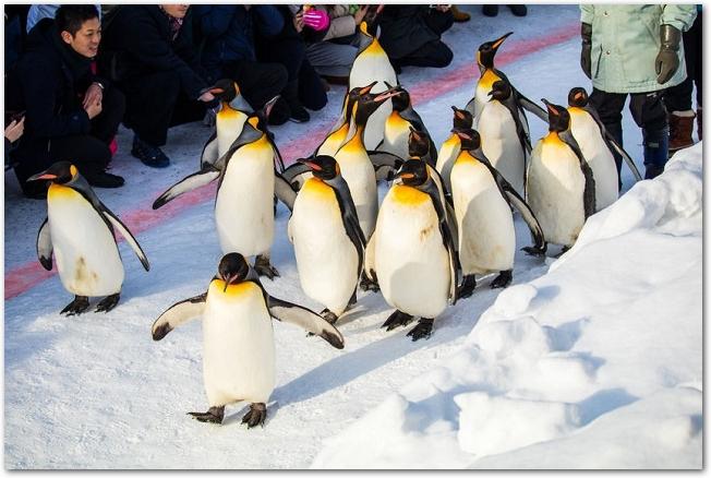 旭山動物園のペンギンのお散歩タイムの様子