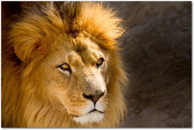 オスのライオンの顔のアップ