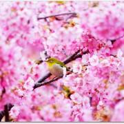 河津桜祭りの日程はいつ?グルメのおすすめは?温泉が楽しめる?