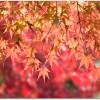 鎌倉の紅葉の見頃はいつ?おすすめは?ライトアップは?