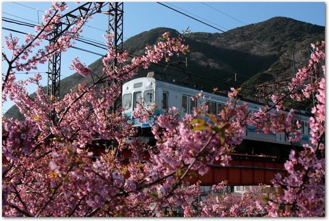 満開の河津桜と電車が走る光景