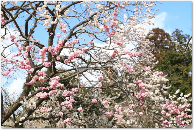 偕楽園に咲く薄紅色と白色の梅の花