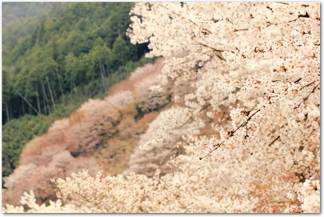 吉野山の桜が満開に咲き誇っている様子