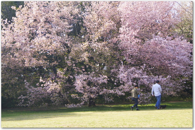 桜が咲いている公園を散歩する家族連れ