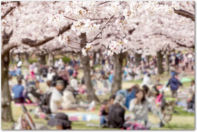 万博公園の桜と、その下でお花見をするたくさんの人々の様子