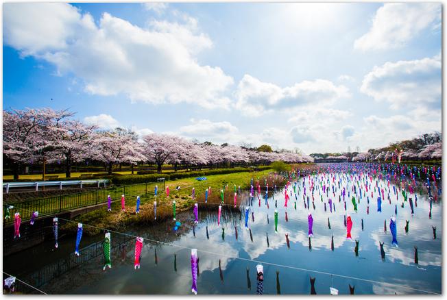 桜の時季に鶴生田川を泳ぐたくさんのこいのぼりの様子